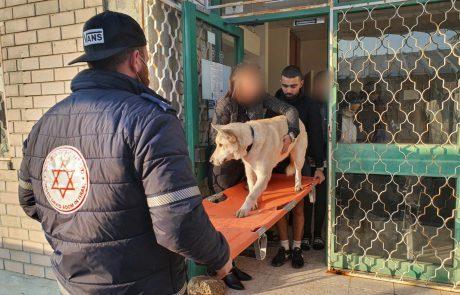 """כלב אקיטה יפני נפגע ממכונית – ופינה עצמו לתחנת מד""""א בגן יבנה"""