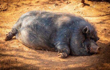 """עיריית חיפה תפסיק את הרג חזירי הבר: """"הגיע הזמן לטפל בנושא בשיטות הומאניות"""""""